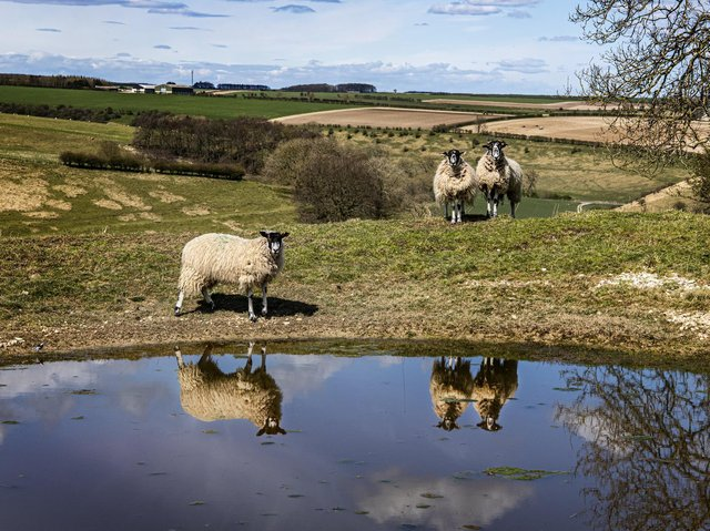 Sheep reflected in a dew pond near Thixendale on the Yorkshire Wolds Way. Picture: Tony Johnson.