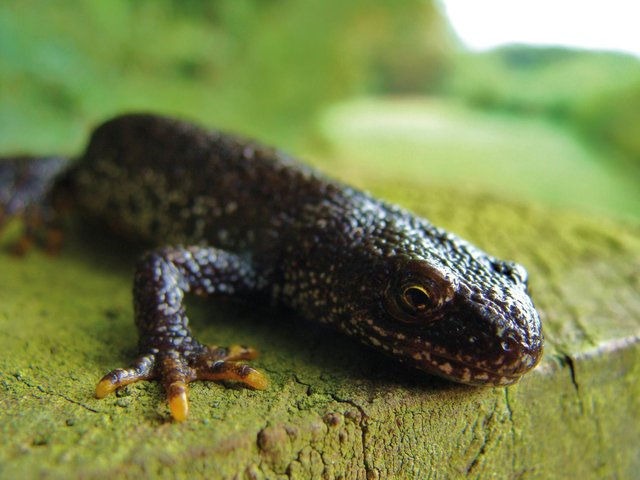 The Yorkshire Wildlife Trust and Natural England are wanting to hear from landowners interested in developing habitats for the newts.