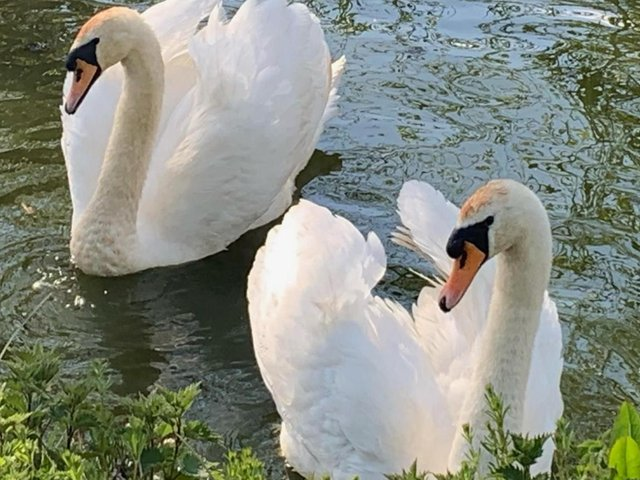 The rescued swan (left) was released back into the water after the shocking ordeal. Photo credit: Yorkshire Swan & Wildlife Rescue Hospital