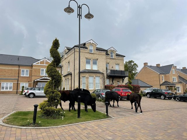 The cows were spotted grazing in gardens after escaping from a field in Beverley.