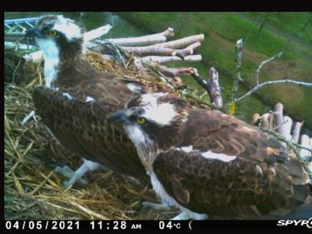 The juvenile pair will probably not breed this year but practice nesting until a later date.