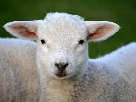 """There have already been 12 """"sheep worrying"""" incidents in North Yorkshire so far this year, with every single district in the county reporting at least one dog attack on livestock. Half of these were reported in April."""
