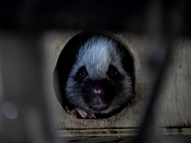 Clyde the nocturnal cloud rat in the new Nocturnal House at Lotherton Wildlife World. Picture: Simon Hulme