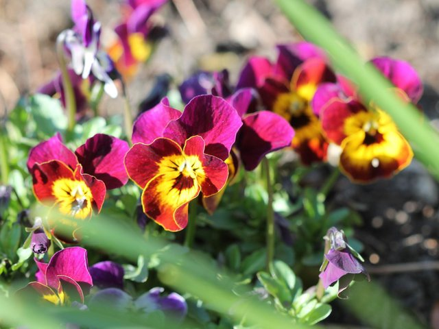 Get ready to sow the likes of polyanthus and pansies.