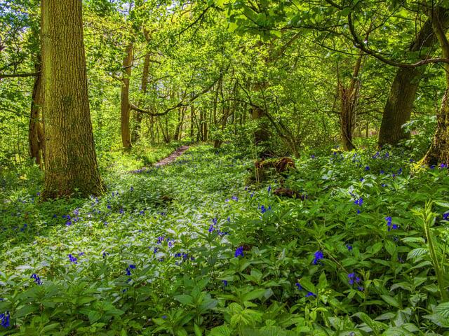 Bluebells and wild garlic in Hackfall Woods near Masham