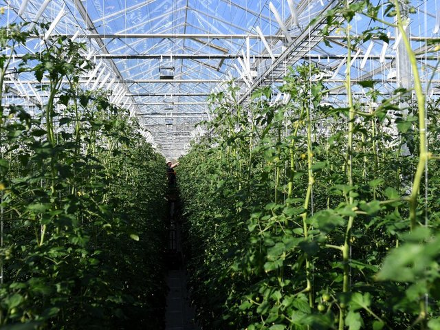 Cherry tomatoes plants at Sterling Suffolk in Bramford near Ipswich. Picture: Joe Giddens/PA Wire.