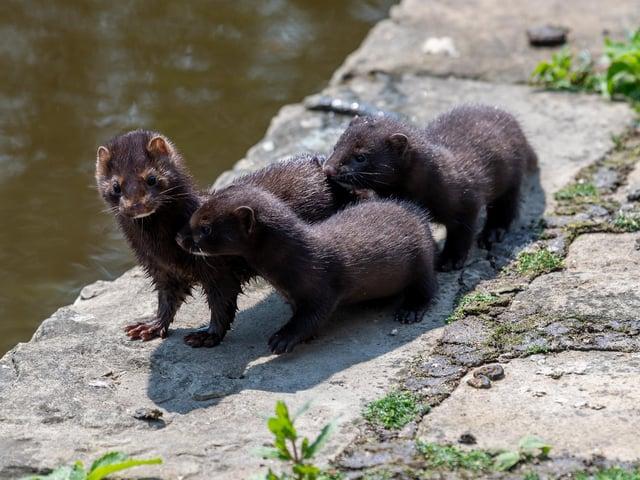 Invasive Non Native Species threaten our native mammals and plants.