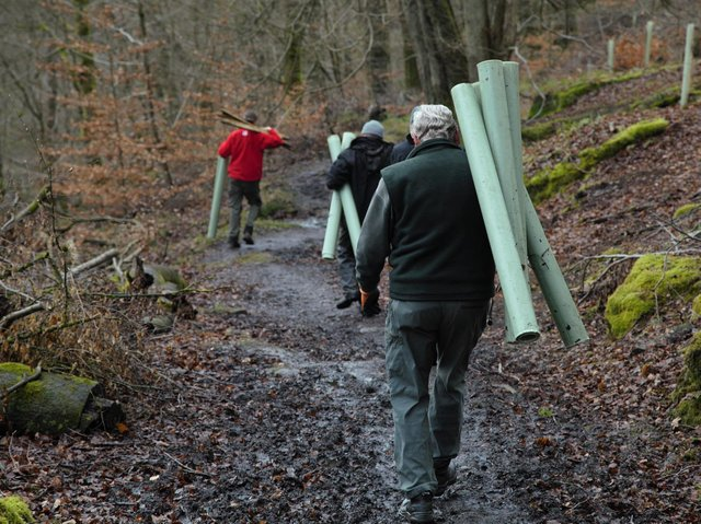 Tree planting at Hardcastle Crags with plastic protectors (Credit: National Trust)