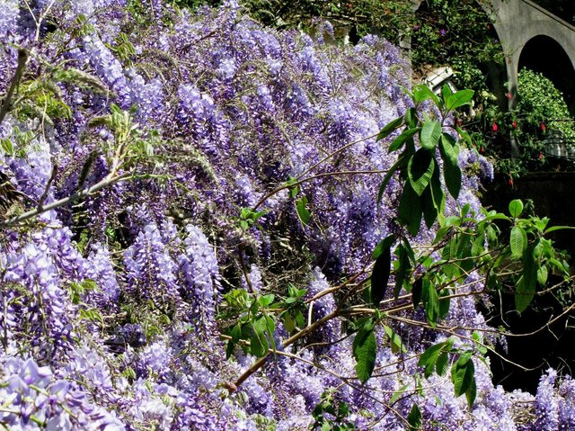 June is a good time to propagate wisteria.