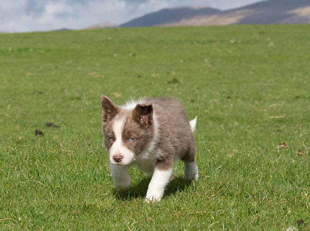 The nine-week-old sheepdog pup was sold for £7,600.
