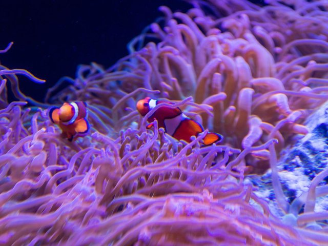 A pair of Common Clown Fish