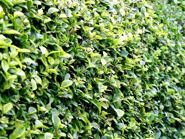 It's a good time to keep your hedges looking trim.