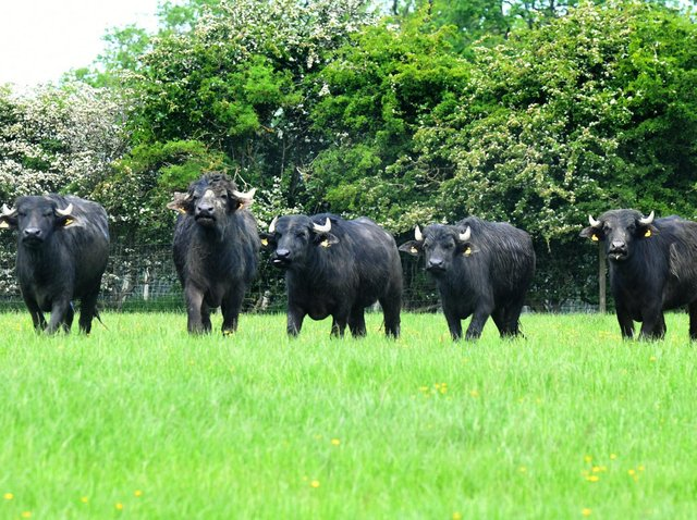 The herd of buffalo at the farm