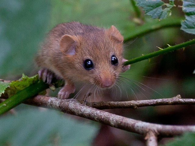 A scheme to reintroduce one of Britain's best-loved mammals has reached a milestone, as 1,000 hazel dormice have now been released into woodland sites in the UK, including locations in Yorkshire. (Picture: Clare Pengelly/PA Wire)