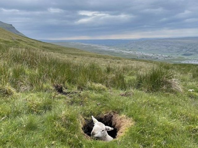 The sheep stuck in the hole (Credit: Thomas Beresford)