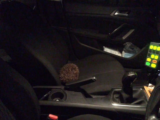 The hedgehog riding to safety in the police car.