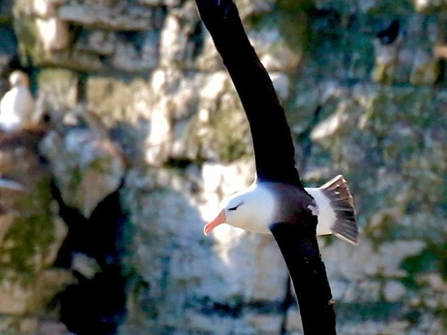 An albatross has once again been spotted soaring over Bempton Cliffs, as police warn of the threat to East Yorkshire's marine wildlife. Photo: Trevor Charlton