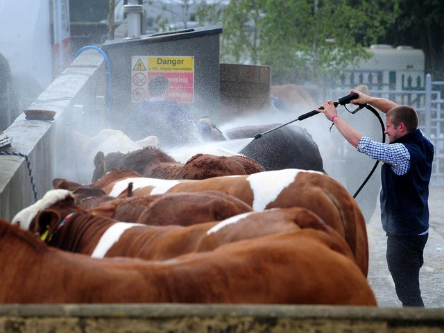 Cows sprayed down at the Great Yorkshire Show in 2019. Picture: Simon Hulme.