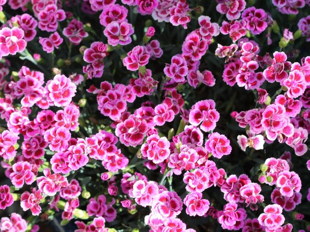It's a good time to take cuttings of pinks  and carnations.