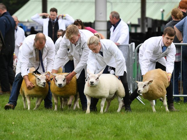 A sheep show at the Great Yorkshire Show.