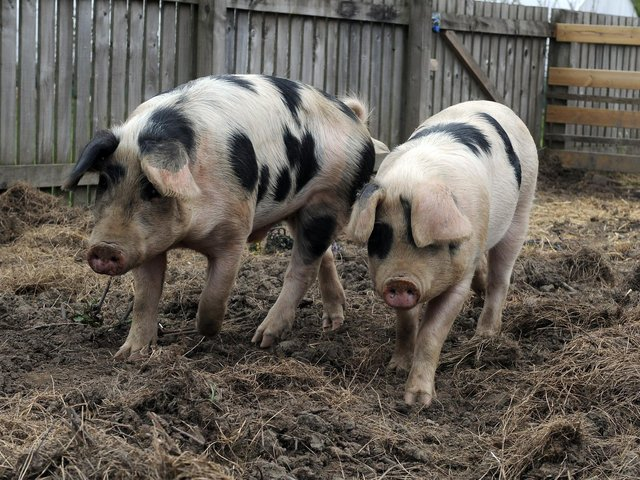 Gloucester Old Spot pigs. Picture: Tony Johnson.